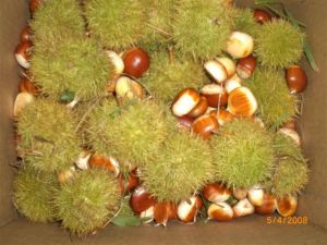 Chestnuts from the 2008 harvest