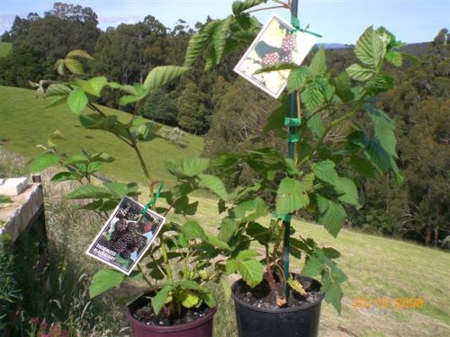 Thornless blackberry and Thornless Youngberry plants