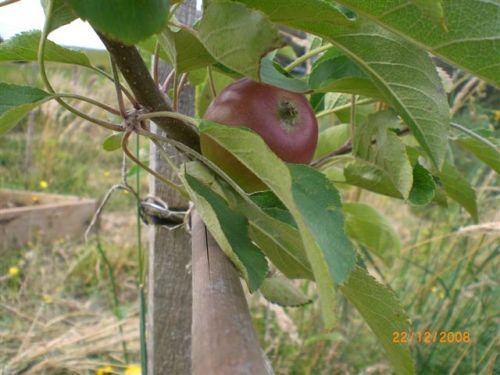 Our Akane with ripening fruit, December 2008