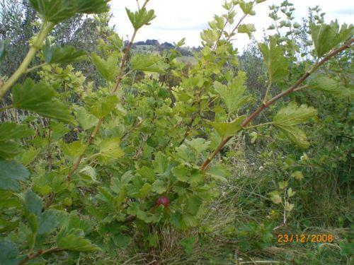 Spot the gooseberry