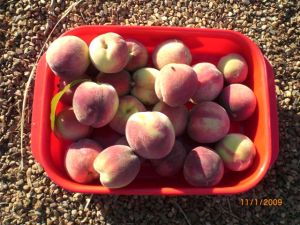 2009 Anzac peach harvest