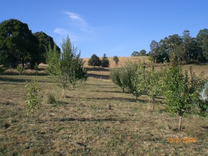 The orchard after its mandatory haircut today